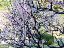 在Hamarikyu庭院的洋李开花在东京,日本 免版税库存照片