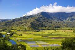 在Hanalei谷,考艾岛,夏威夷的芋头领域 库存照片