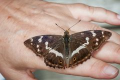 在hand_Schmetterling背面的闪蛱蝶属虹膜 库存照片