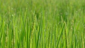 在harverting的季节的稻田 黄色水稻领域特写镜头与绿色叶子的在秋天 股票录像