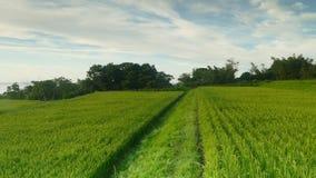 在harverting的季节的稻田 黄色水稻领域特写镜头与绿色叶子的在秋天 股票视频