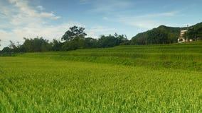 在harverting的季节的稻田 黄色水稻领域特写镜头与绿色叶子的在秋天 影视素材