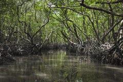 在Havelock海岛、安达曼和尼科巴,印度的美洲红树树 图库摄影