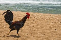 在hawaian海滩的Ruster鸡 免版税库存图片