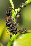 在HDR的公牛蚂蚁 库存照片
