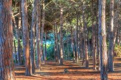 在hdr的松林 库存图片