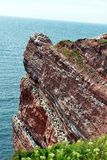 在Helgoland峭壁的繁殖的鸟  免版税图库摄影