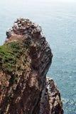 在Helgoland峭壁的繁殖的鸟  免版税库存图片