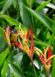 在heliconia花的Sunbird 免版税库存照片