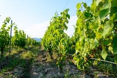 在Hercegkut Sarospatak托考伊地区匈牙利附近的葡萄园 库存照片