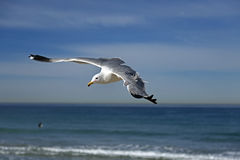 在hermosa海滩的海鸥飞行,加利福尼亚 免版税库存照片