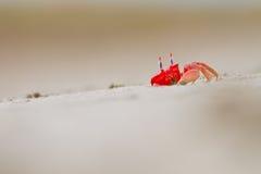 在hidding在漏洞的一个空白沙子海滩的红色螃蟹 库存照片