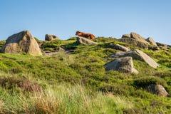 在Higger突岩,南约克郡,英国,英国顶部的母牛 免版税库存照片