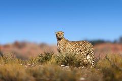 在hil顶部的猎豹 免版税图库摄影