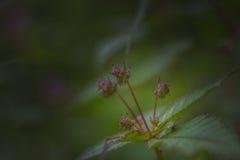 在himalays找到的花种类 免版税库存图片