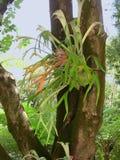 在hippocastanum的叶子结构 库存图片
