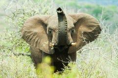 在Hluhluwe比赛储备的紧张的大象 免版税库存图片