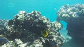 在honolua海湾的礁石鱼在毛伊 影视素材