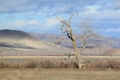 在Horshoe大农场的扭转的树在Beowawe附近 免版税库存照片