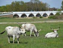 在Hortobagy的野生牛 库存图片