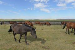 在Hulun Buir草原的马 库存照片