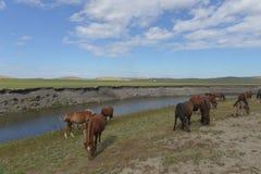 在Hulun Buir草原的马 免版税库存照片