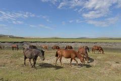 在Hulun Buir草原的马 免版税图库摄影