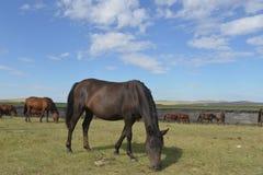 在Hulun Buir草原的马 免版税库存图片