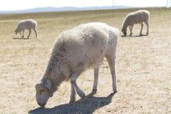 在Hulun Buir草原的绵羊 免版税图库摄影
