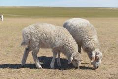 在Hulun Buir草原的绵羊 库存图片