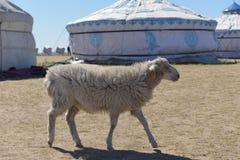 在Hulun Buir草原的绵羊 免版税库存图片