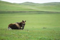 在HULUNBEIR中国绿色马的领域 免版税库存图片