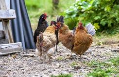 在Iceland2的五颜六色的雄鸡 库存照片