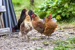 在Iceland3的五颜六色的雄鸡 免版税图库摄影