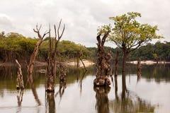 在Igarapé的死的树在亚马逊 免版税库存图片