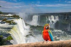 在Iguacu Cataratas的金刚鹦鹉鹦鹉  图库摄影