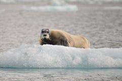 在inceberg的髯海豹,北部,卑尔根群岛,斯瓦尔巴特群岛,挪威 免版税库存照片