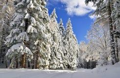 在inverno的Abeti 库存图片