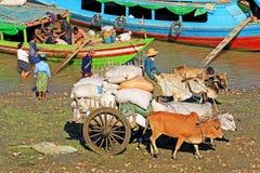 在Irrawaddy河河岸, Pyay,缅甸的牛运输物品 免版税库存照片