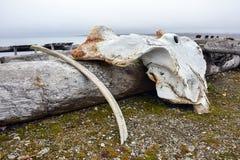 在Isfjord收音机,卡普Linne,卑尔根群岛的鲸鱼骨头 免版税库存图片