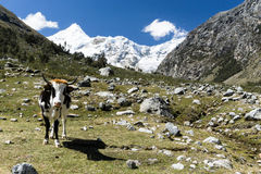 在Ishinca谷的母牛 库存图片