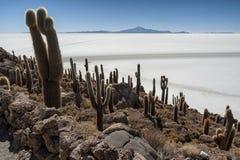 在Isla印加瓦西峰Isla在世界` s最大的盐平原撒拉族de Uyuni,玻利维亚中间的del Pescado的Trichoreceus仙人掌 库存照片