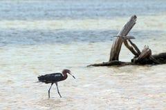 在Isla布朗卡坎昆墨西哥的被风吹带红色白鹭狩猎 图库摄影