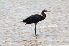 在Isla布朗卡坎昆墨西哥的被风吹带红色白鹭 库存照片
