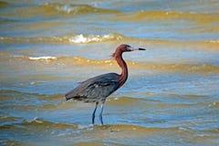 在Isla布朗卡坎昆墨西哥的被风吹带红色白鹭 库存图片