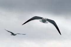 在Isla维多利亚的鸥 免版税库存照片