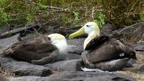在Isla Espaniola加拉帕戈斯的挥动的信天翁 库存照片
