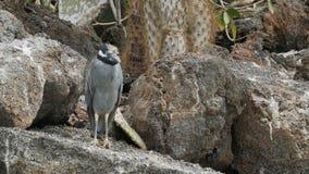 在isla genovesa的黄色被加冠的夜鹭属在加拉帕戈斯 影视素材