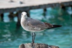 在Isla Mujeres小船船坞岗位的海鸥从坎昆墨西哥 免版税库存照片