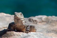 在Isla Mujeres蓬塔苏尔Acantilado在坎昆墨西哥附近的del Amanecer -黎明的峭壁的一点安替列斯群岛鬣鳞蜥- 库存照片